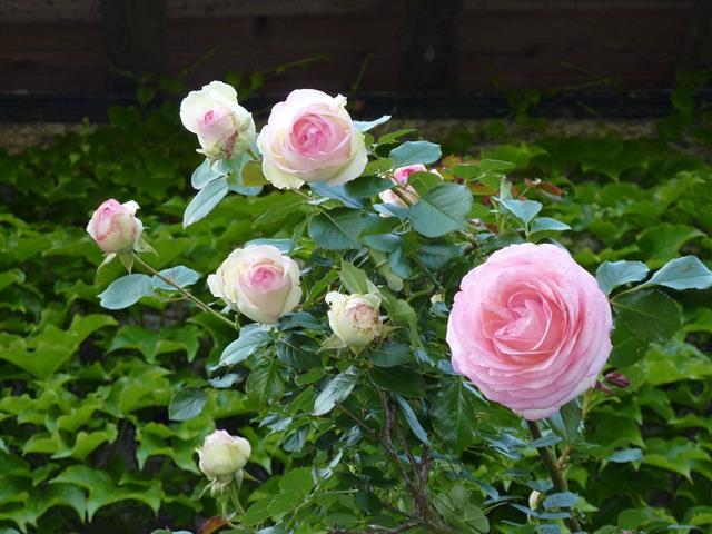 cum sa ai trandafiri infloriti in gradina