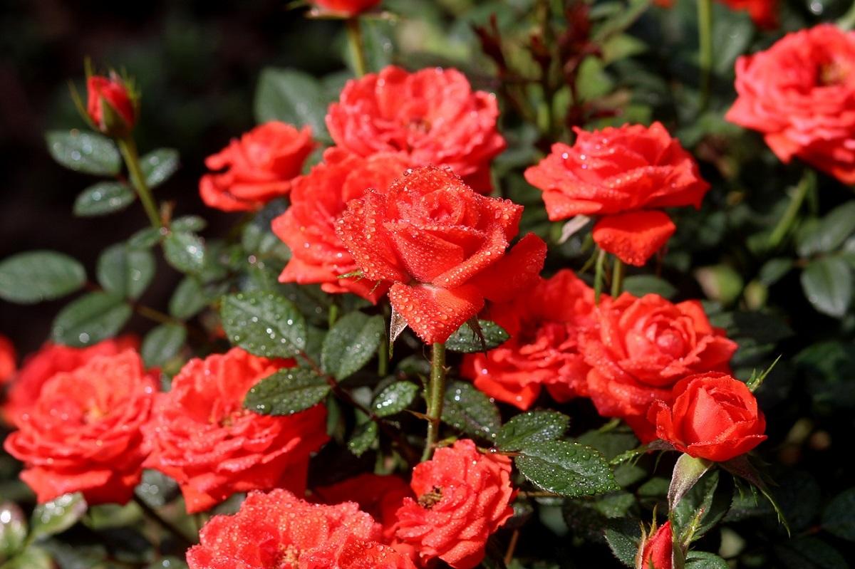 puteți bea decoce de șolduri de trandafir în varicoză